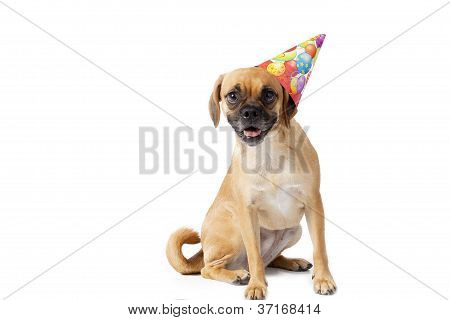 puggle with a hat