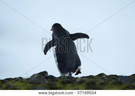 rare view of a gentoo penguin