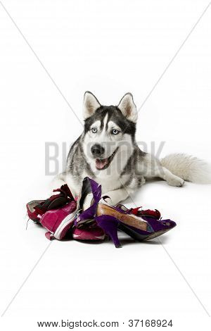 siberian husky with torn women shoes