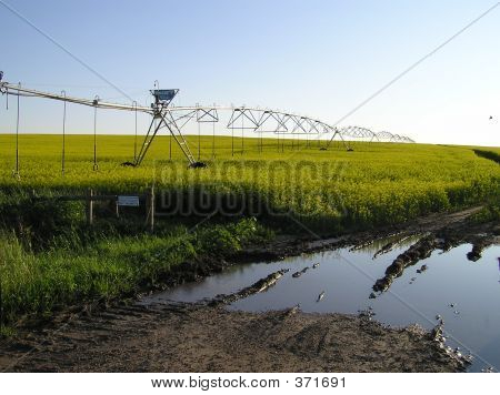 Roadside Irrigated Canola Field