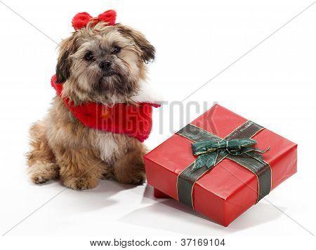 Sitting Christmas Shi Tzu