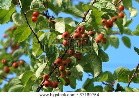 Branch full of crab apples