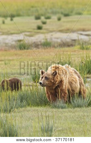 sniffing bear