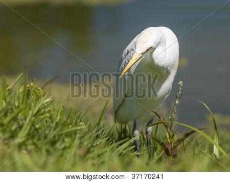 swan looking for food