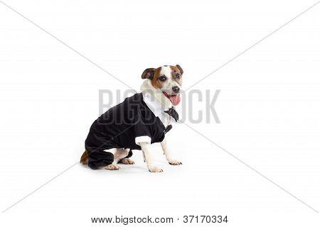 tuxedo jack russell terrier