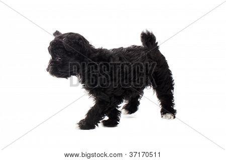 walking black puppy