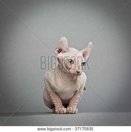 faltige Elf Katze