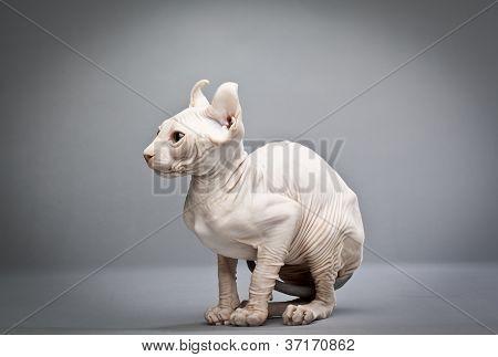 gato enrugado