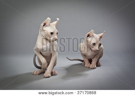 wrinkly hairless cats