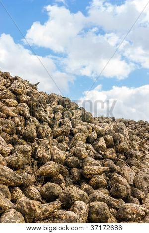 Heap Of Sugar Beets