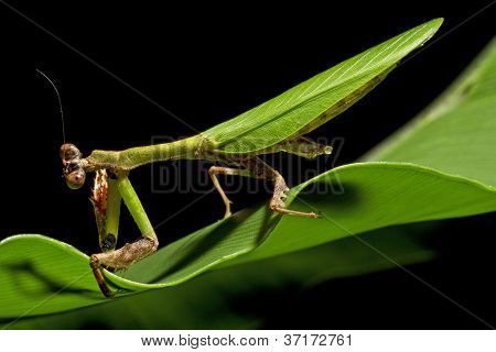 Praying mantis,Mantis religiosa,Borneo