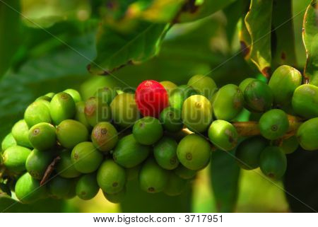 Coffee Beans Getting Ripe