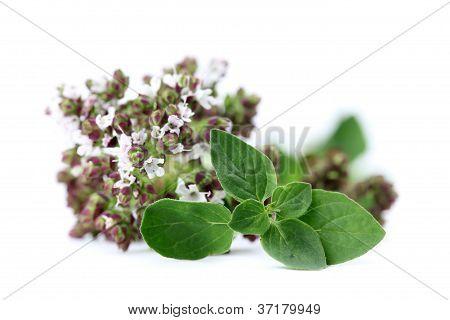 Blooming oregano