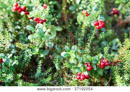 Reb Cowberries Growing On Green Brunches