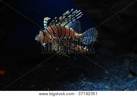 adas lion fish