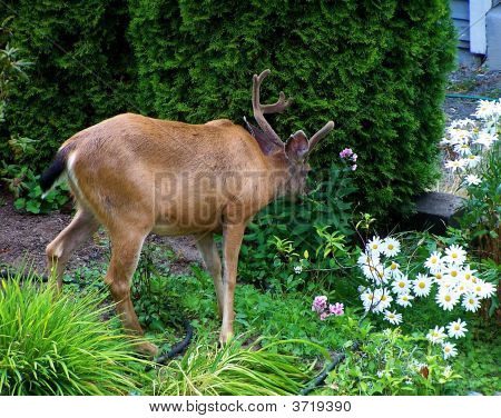 Deer Pest In Garden