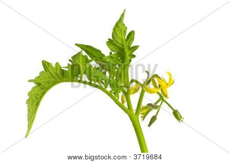 Isolated Tomato Leaves And Flowers