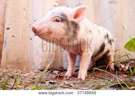 Close-up de um bonito Leitão barrenta correndo ao ar livre na fazenda