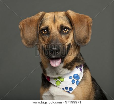 Dog, cross breed with a beagle, 2 years old, wearing neckerchief against white background