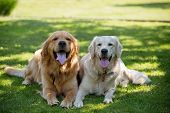 Close Up pair of purebred playful golden retriever dogs outdoors on green grass poster
