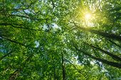 image of alder-tree  - sunlight through vivid green alder trees - JPG