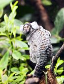 stock photo of marmosets  - The portrait of a small monkey Marmoset - JPG