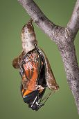 pic of chrysalis  - A viceroy butterfly is emerging from its chysalis through an open zipper - JPG