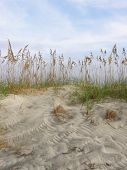 picture of sea oats  - Sea Oats in the dunes in Pawleys Island - JPG