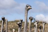 Ostrich Necks And Heads