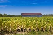 picture of tobacco barn  - Country landscape with barn and tobacco plants field - JPG