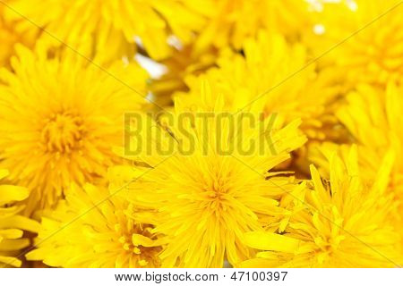 Dandelion flowers close-up