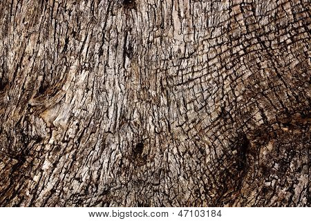 Texture - a bark of an old olive