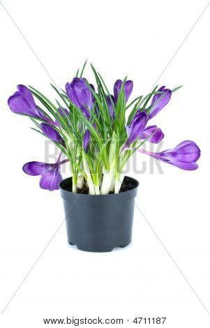 Bunch Of Crocuses In Black Flowerpot