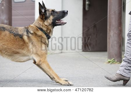 German Shepherd In Front Of Woman