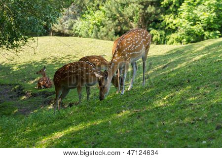 Spotted Deer Foraging