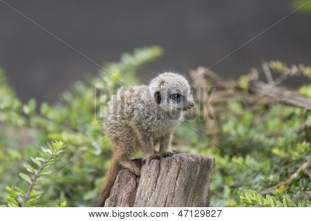 Baby Meercat