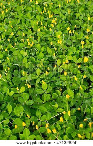 Pinto Peanut Plant