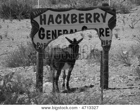Hackberry burro