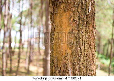 Pine Forest Thailand