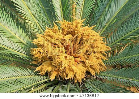 Cycas Plant