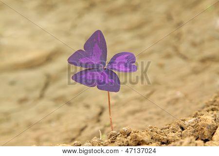 Purple Creeping Oxalis