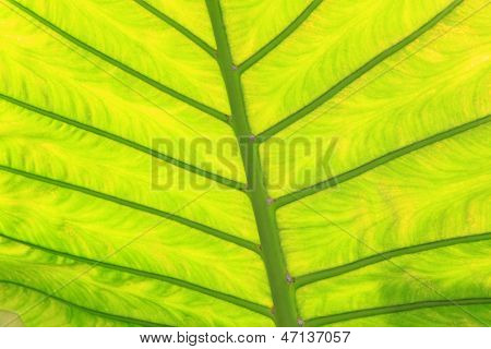 Green Fresh Arrowroot Leaf Texture