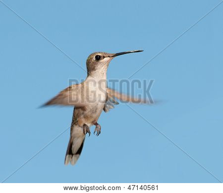 Young Ruby-throated Hummingbird in flight against clear blue sky