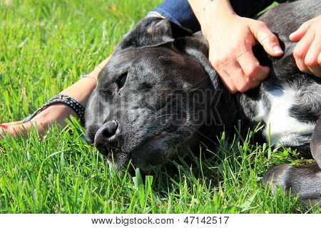 Bull Mastiff enjoying massage