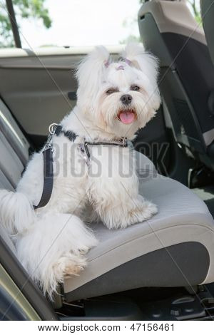 Small dog maltese sitting safe in the car on the back seat in a safety harness