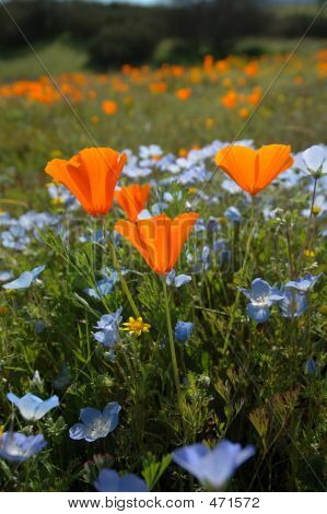 Bug's Eye View Vertical: California Poppy, Baby Blue Eyes, And Goldfields