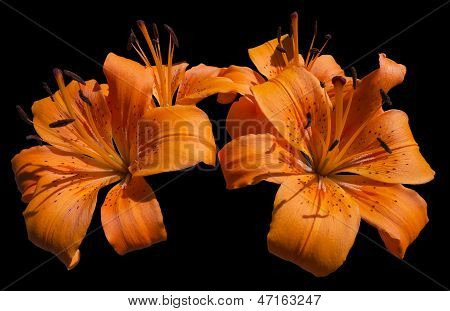 Orange Lily Flowers - Lilium