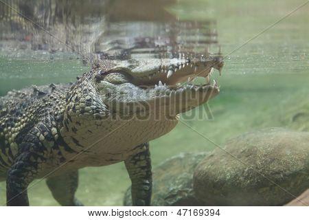 Crocodile Under Water