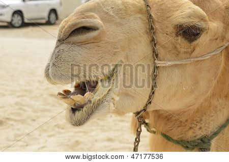 camel smile mouth