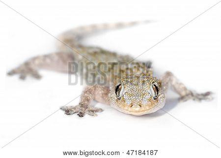 Gecko look